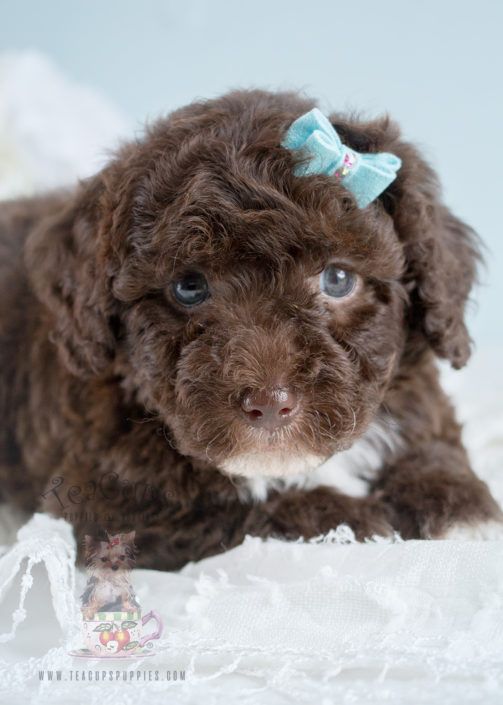 Puppy For Sale 257 Teacups Puppies Chocolate Poodle