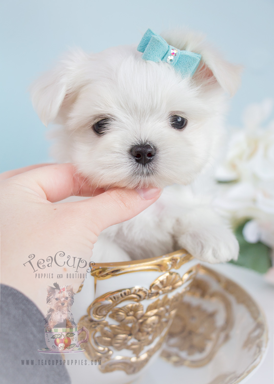 Puppy For Sale 261 Maltese