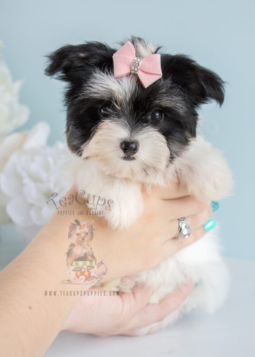 Maltipoo Puppy For Sale 247 Teacup Puppies