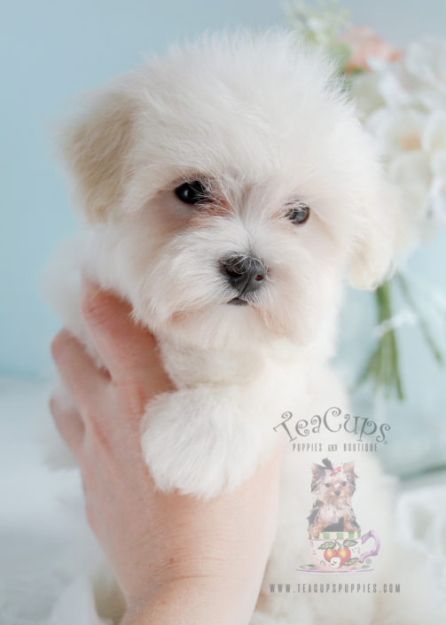 For Sale #271 Teacup Puppies Maltipoo Puppy