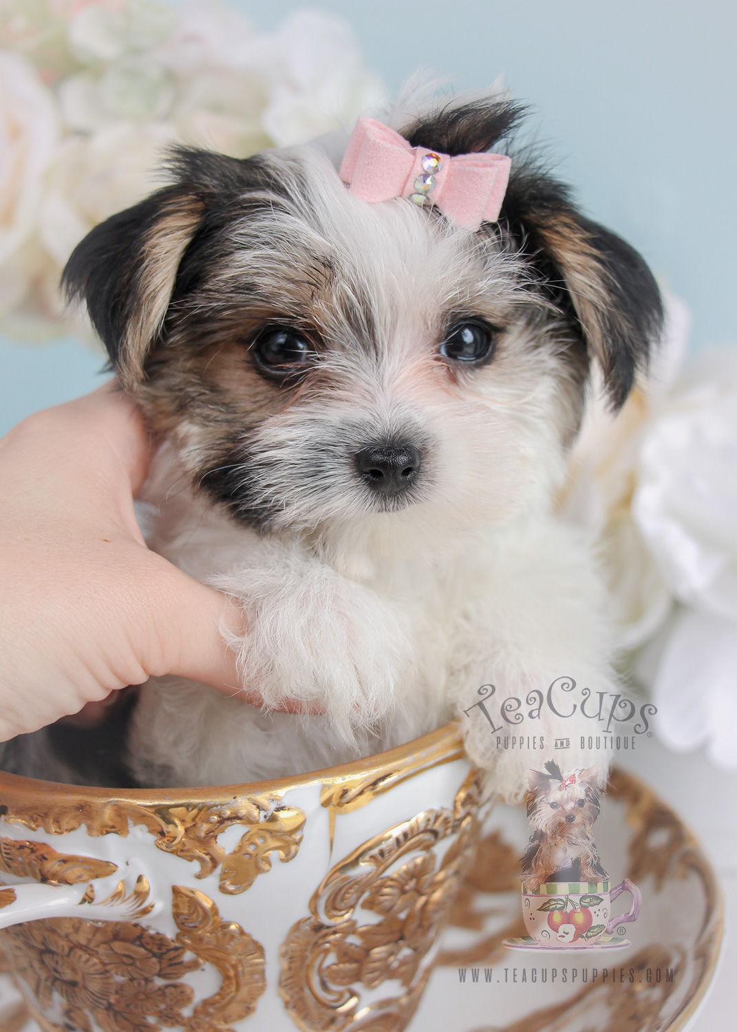 Morkie Puppy For Sale 246 Teacup Puppies