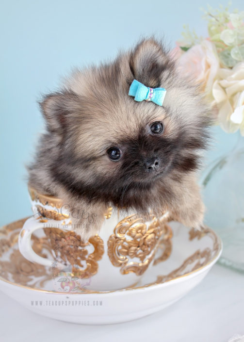 For Sale #273 Teacup Puppies Pomeranian Puppy