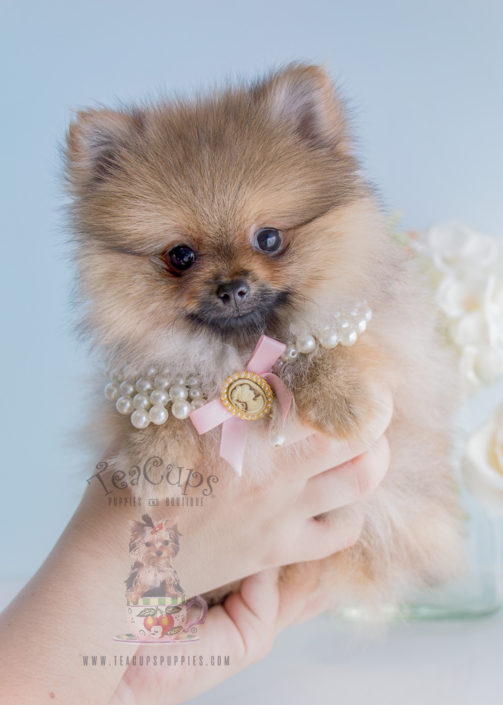 For Sale #279 Teacup Puppies Pomeranian Puppy