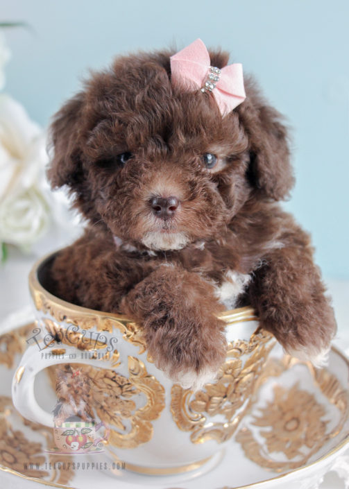 For Sale Teacups Poodle 254 Puppy
