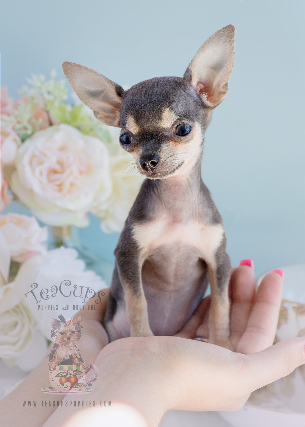 For Sale #280 Teacup Chihuahua Puppy