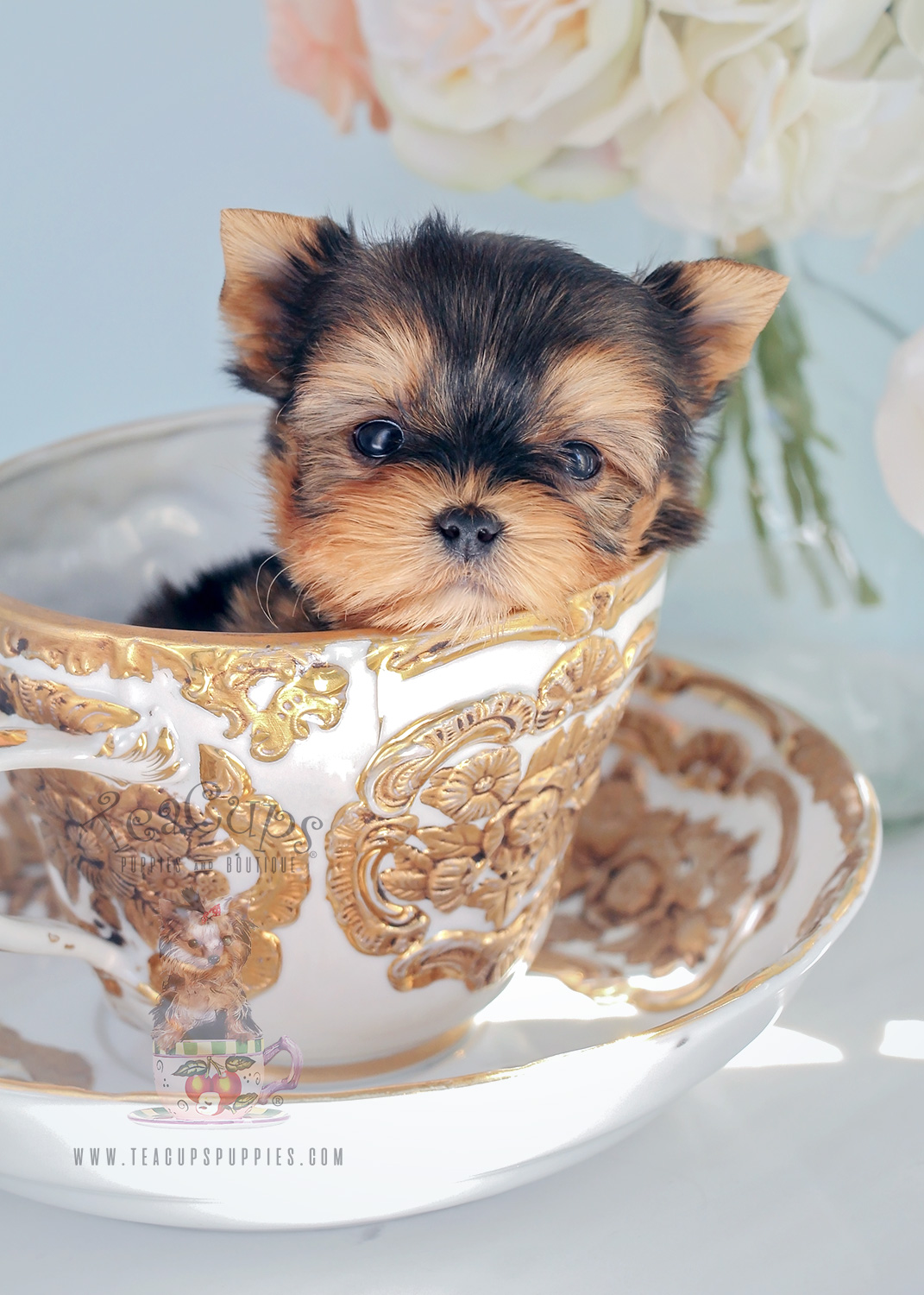 For Sale Teacup Puppies #281 Teacup Morkie Puppy