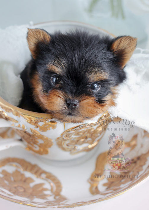 Teacup Yorkie Puppy For Sale #266
