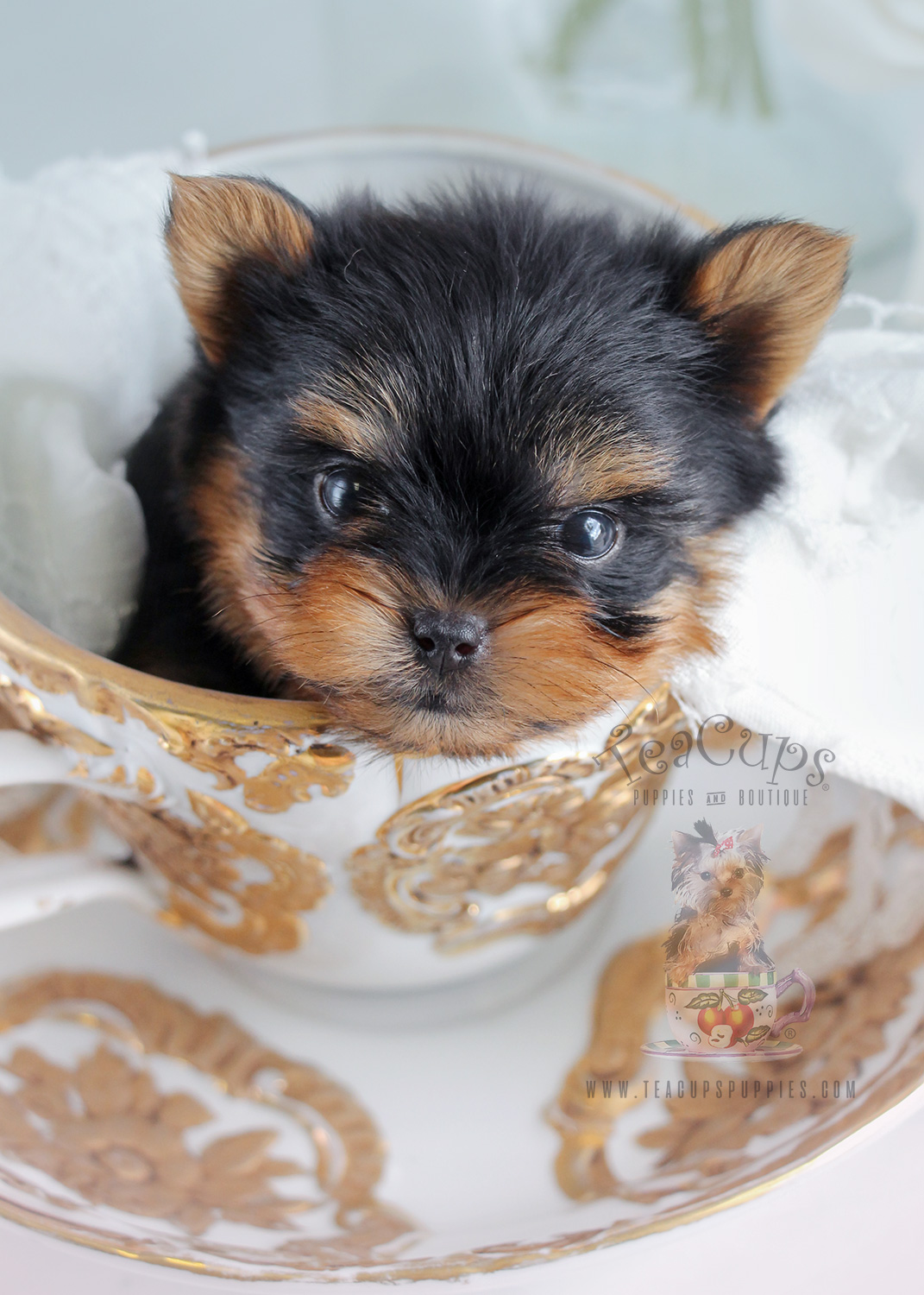 Teacup Yorkie Puppies Teacups Puppies Amp Boutique