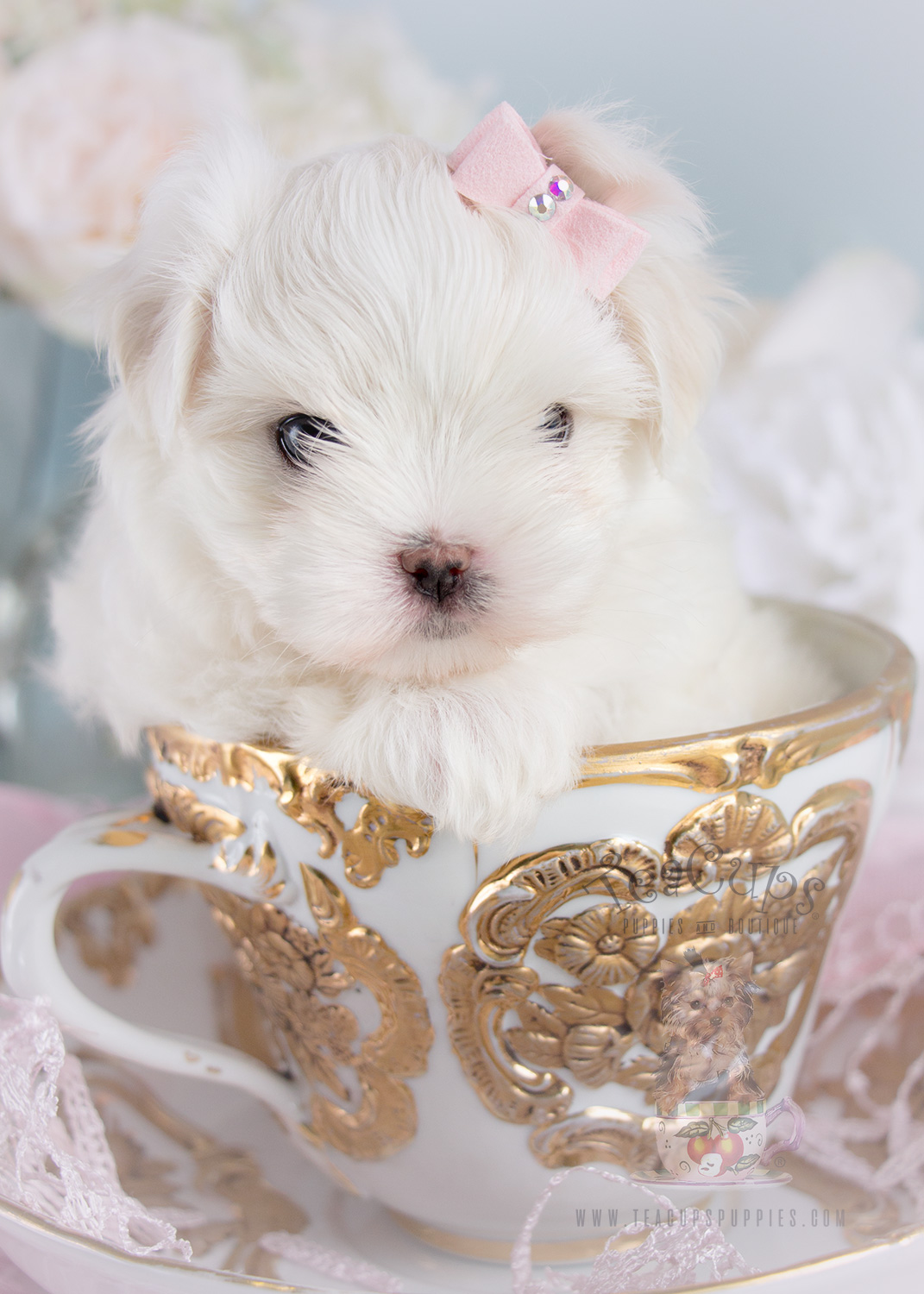 Adorable Maltese Puppy For Sale Teacup Puppies 250