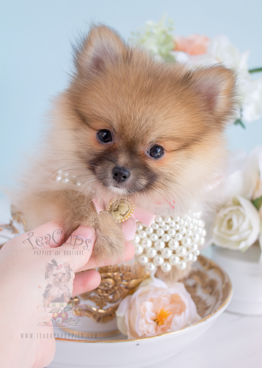 Micro Mini Pomeranian For Sale In Wyoming Image Mag
