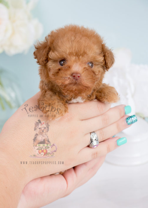 Tiny Poodle Puppy For Sale 251 Teacup Puppies