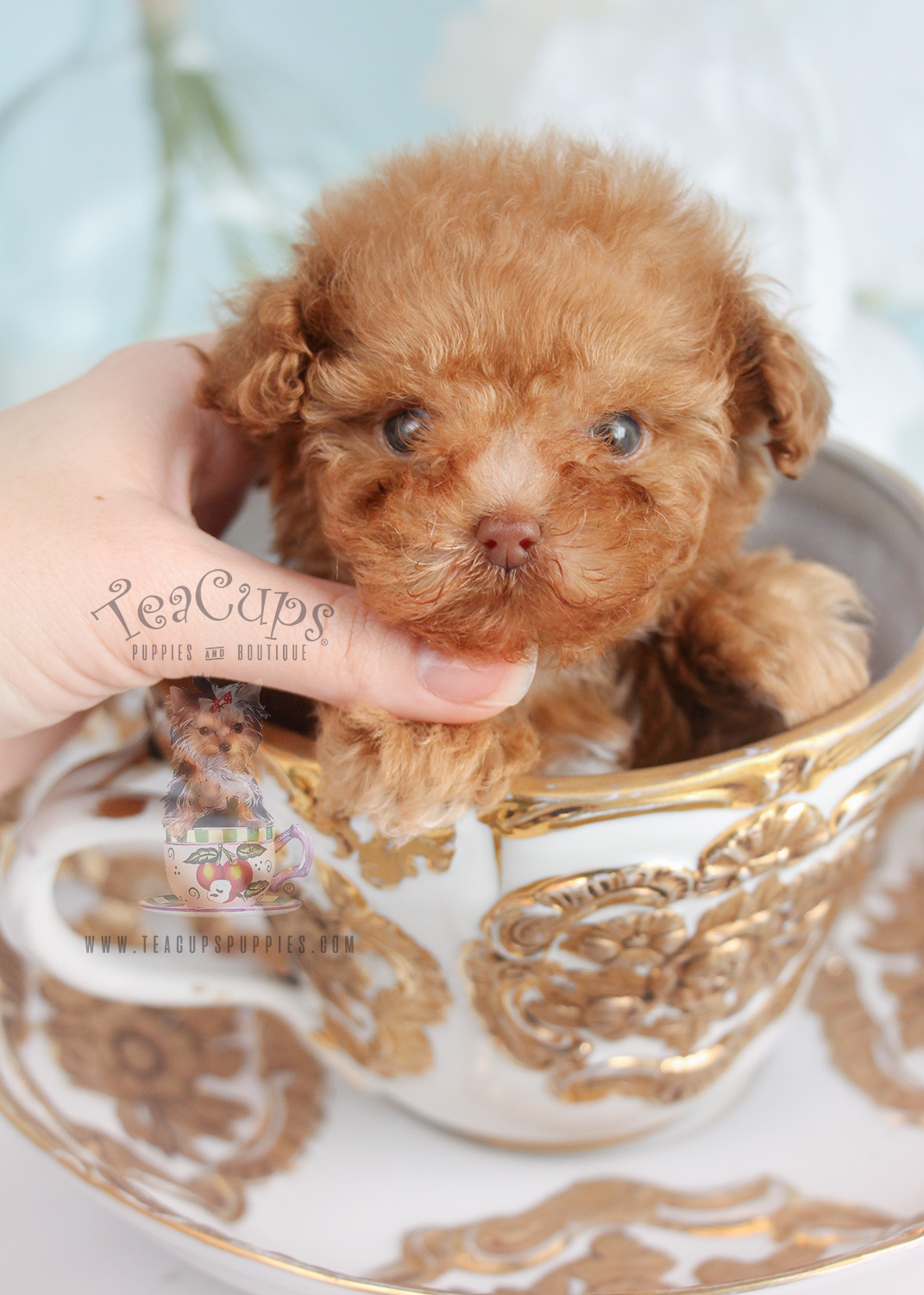 Tiny Poodle Puppy For Sale Teacup Puppies