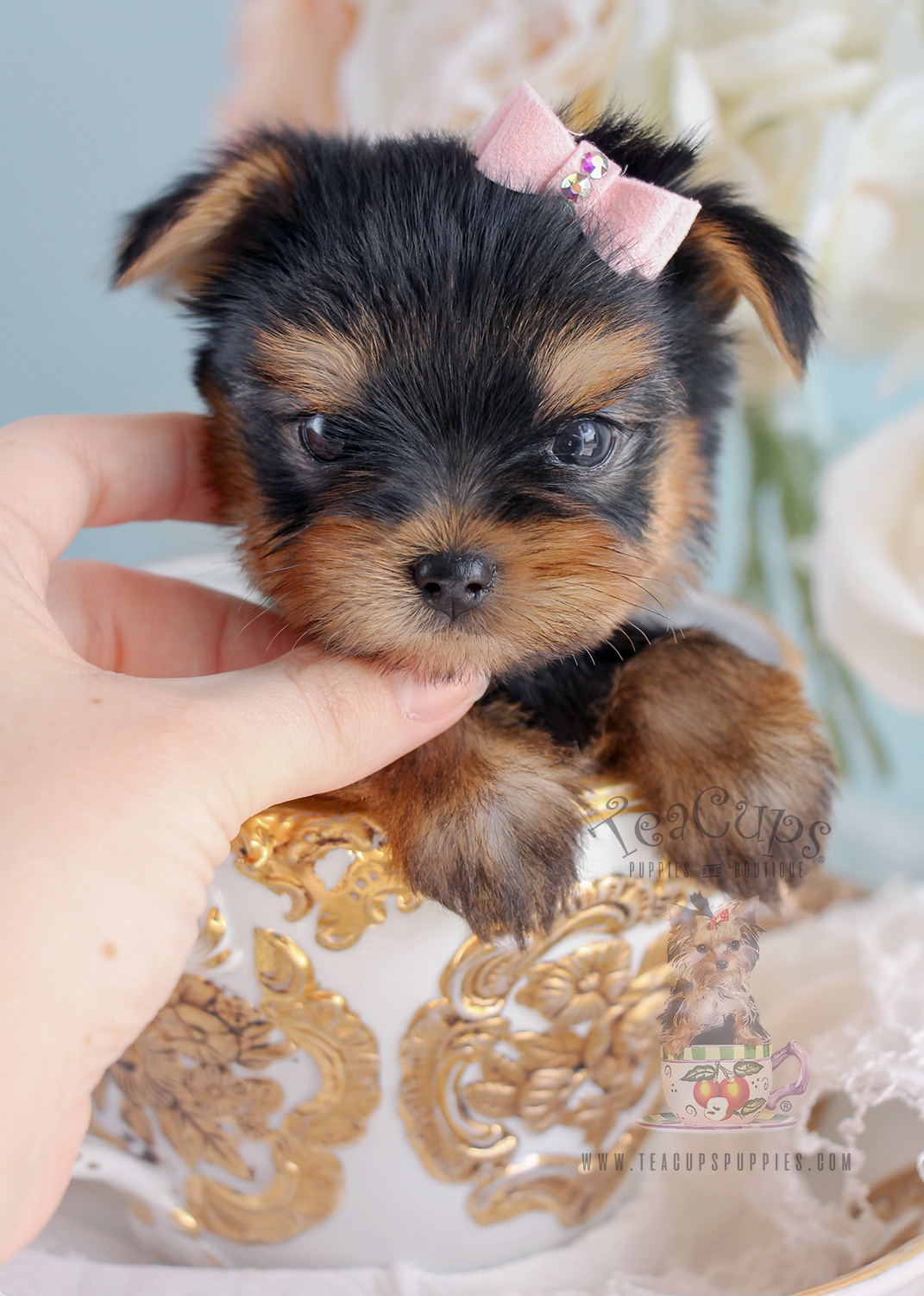 Teacup Puppies Tiny Yorkie Puppy For Sale #267