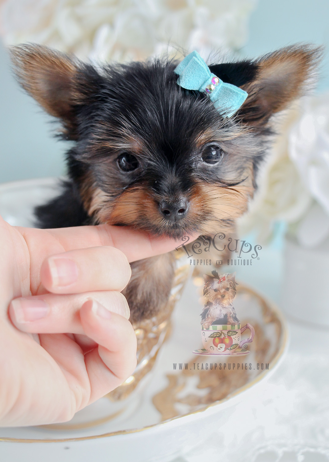Puppy For Sale #269 Teacup Puppies Tiny Yorkie
