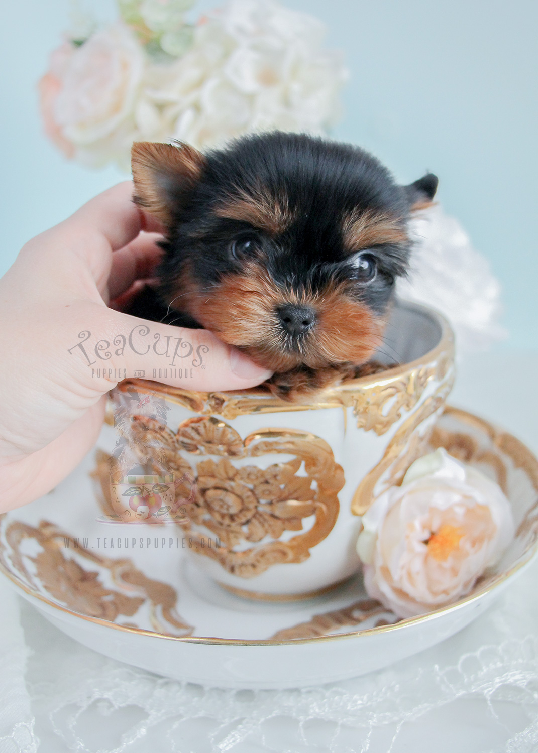 For Sale #275 Tiny Yorkie Puppy