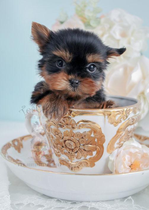 Yorkie teacup puppies