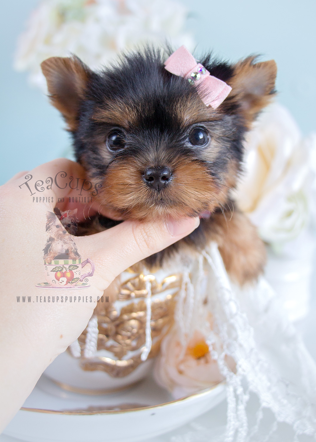For Sale #276 Tiny Yorkshire Terrier Puppy