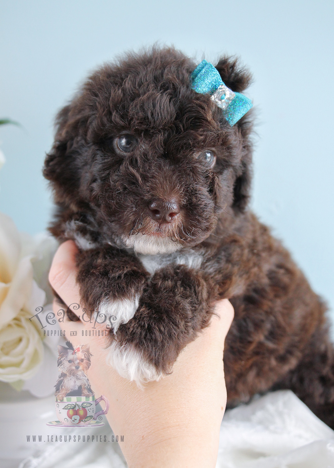 Toy Poodle For Sale 258 Teacups Puppies