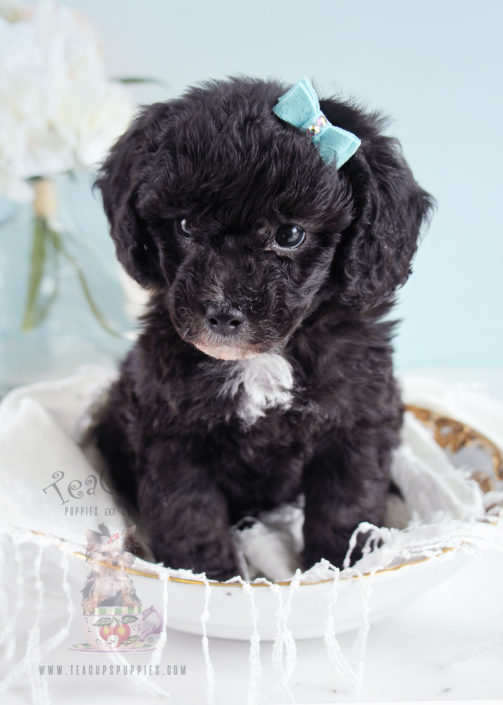 Teacup Puppies Toy Poodle Puppy For Sale 256