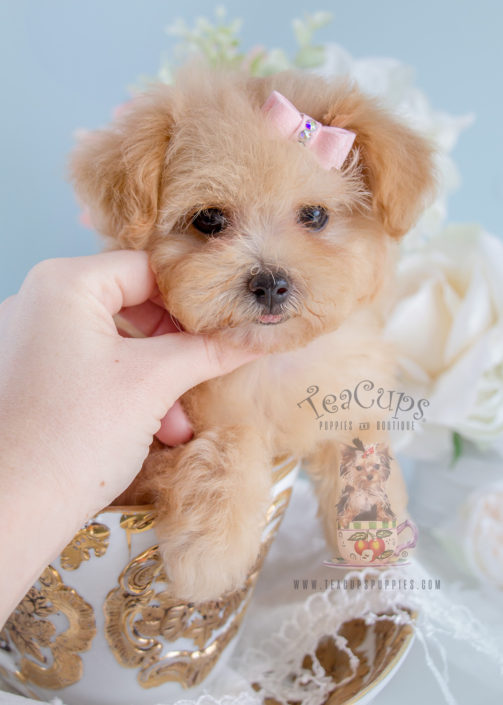 For Sale #268 Teacup Puppies Toy Poodle Puppy