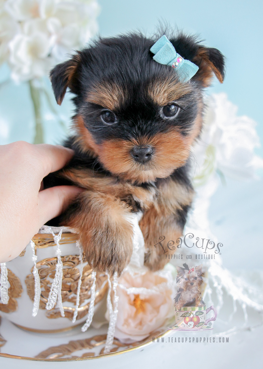 For Sale #274 Teacup Puppies Yorkie Puppy