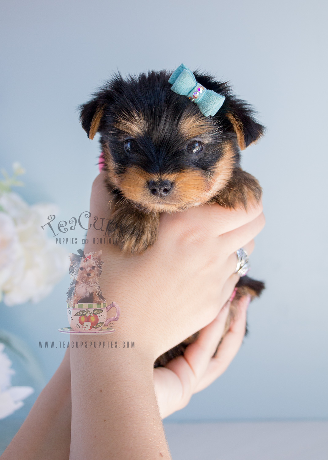 Puppy For Sale #283 Yorkie