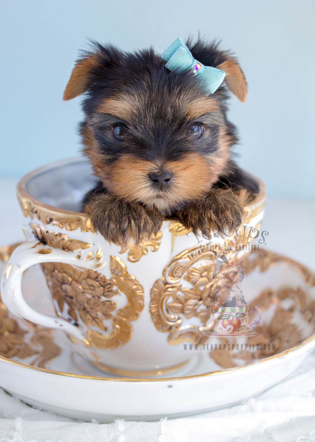 Puppy For Sale #284 Yorkie