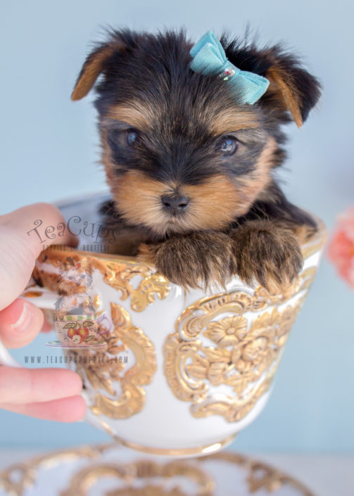 Yorkie Puppy For Sale #284
