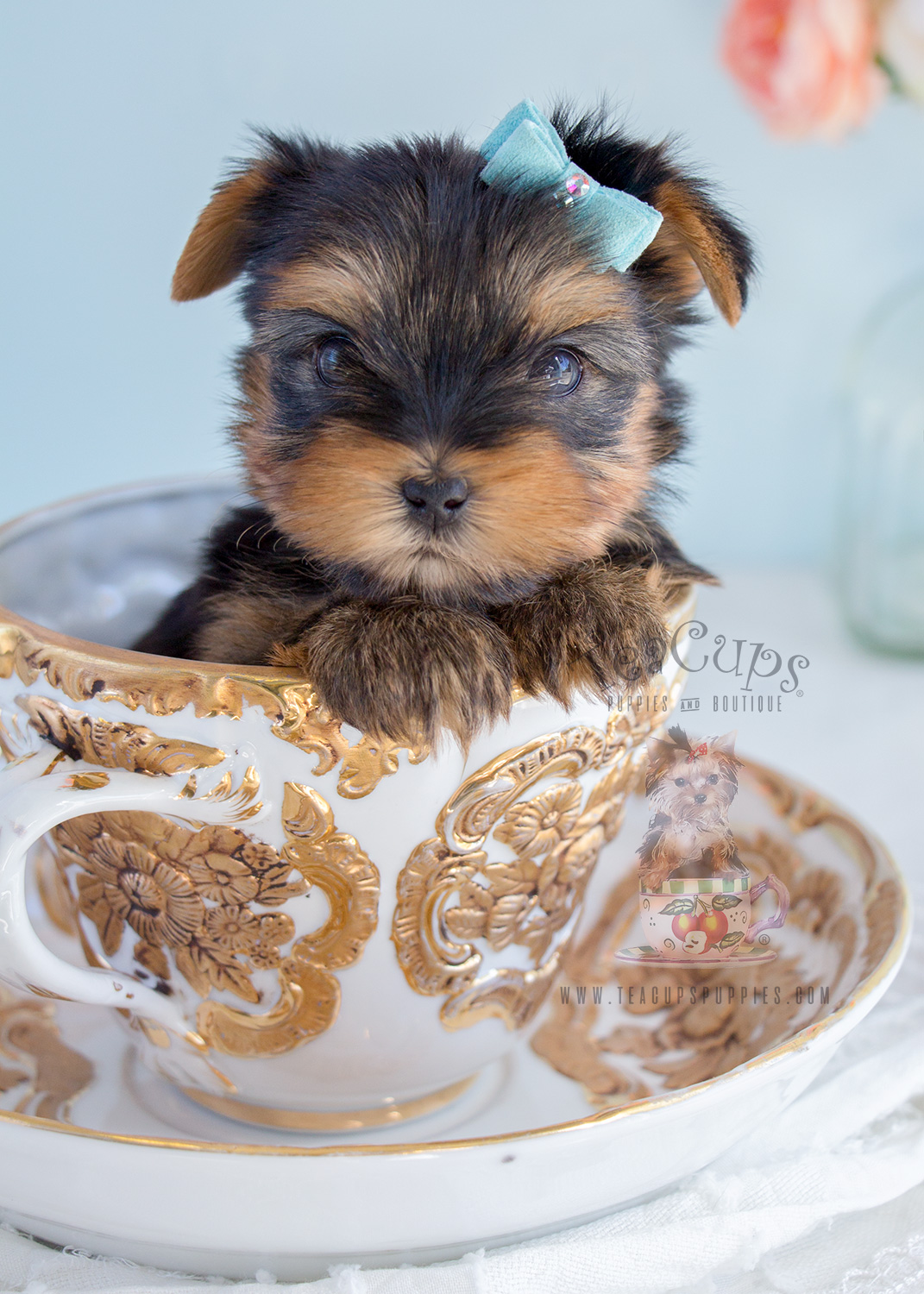 For Sale #284 Yorkie Puppy