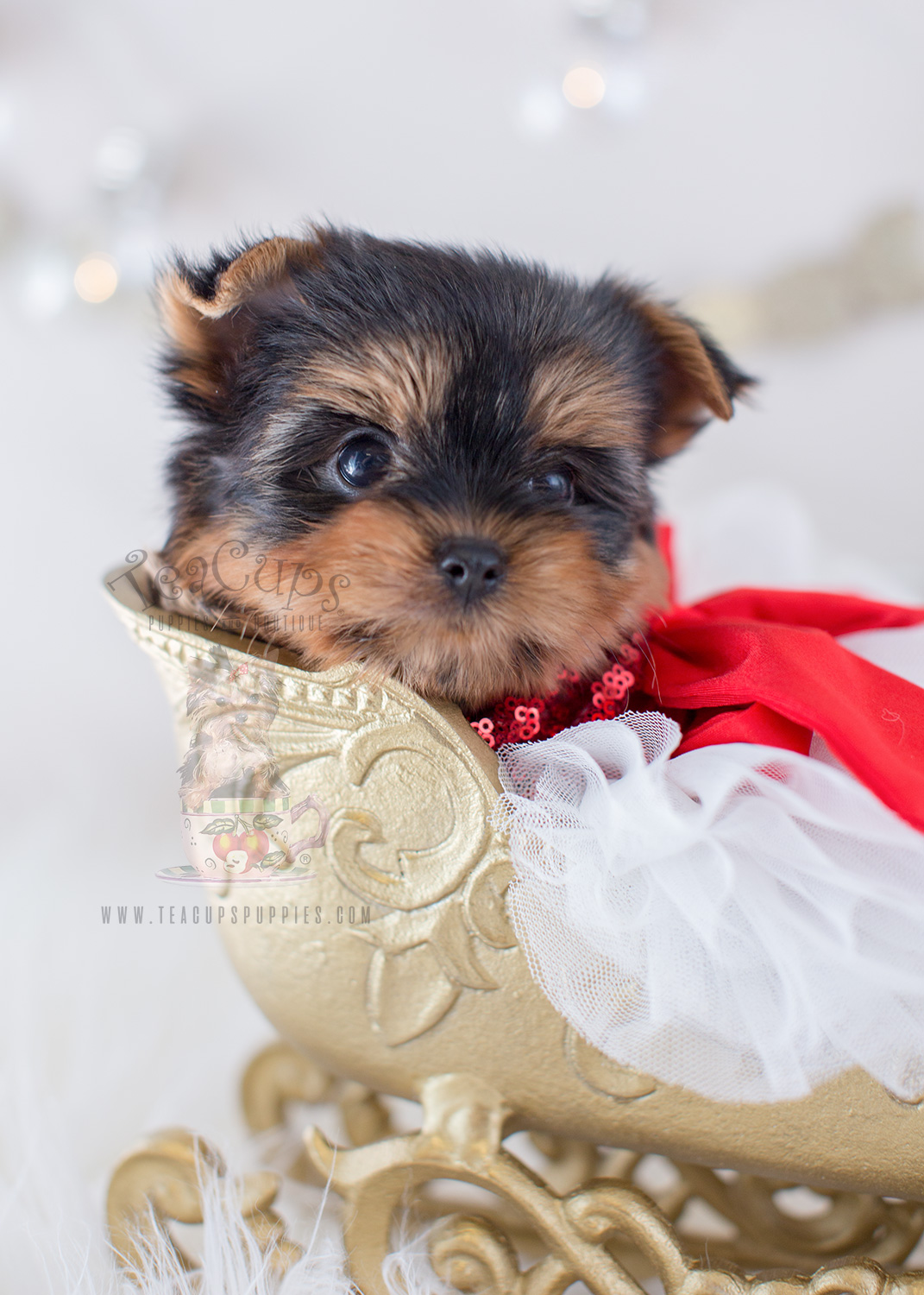 For Sale Teacup Puppies #319 Beautiful Yorkshire Terrier Puppy
