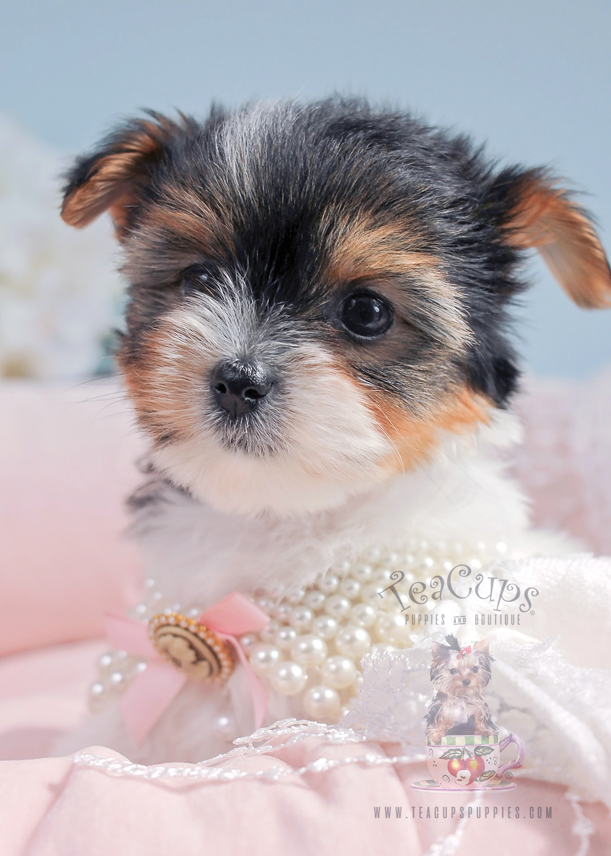 For Sale #287 Biewer Yorkie Puppy