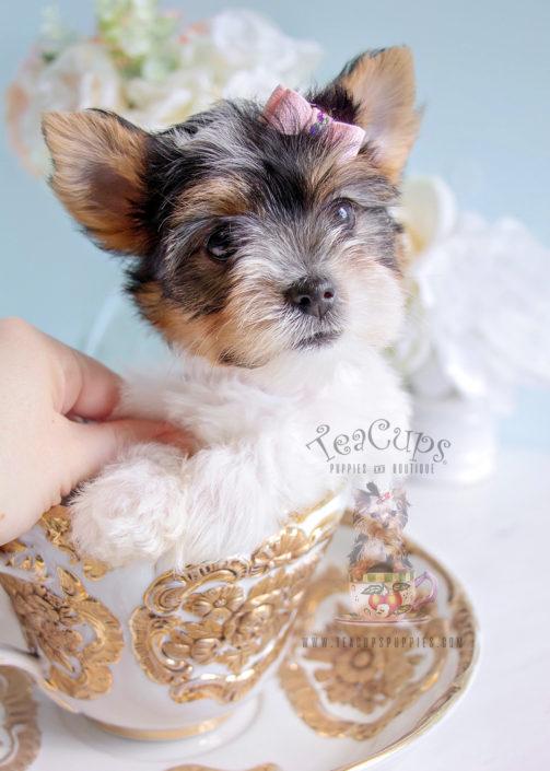 For Sale #288 Biewer Yorkie Puppy