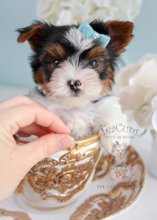 Teacup Puppies Biewer Yorkie Terrier For Sale #286