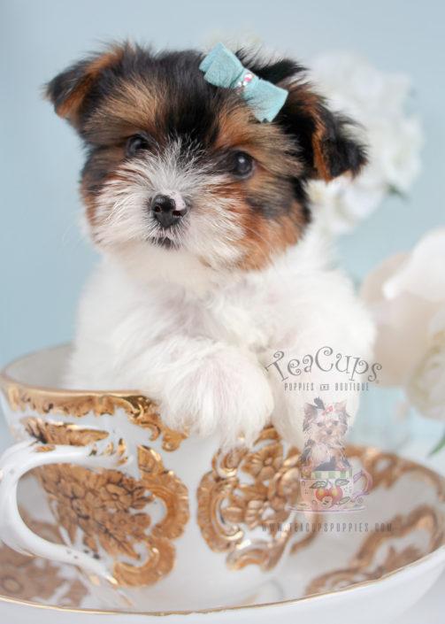 For Sale #285 Teacup Puppies Biewer Yorkie Terrier Puppy