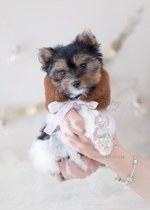 For Sale #299 Teacup Puppies Biewer Yorkie Terrier Puppy