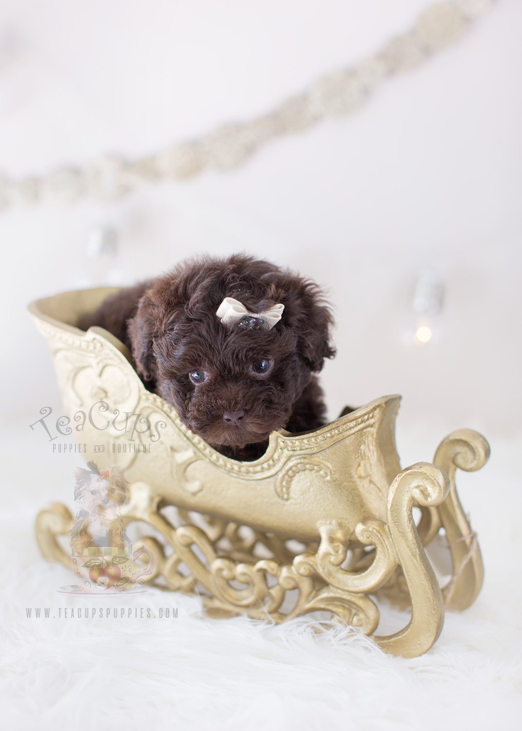 For Sale #292 Teacup Puppies Chocolate Poodle Puppy