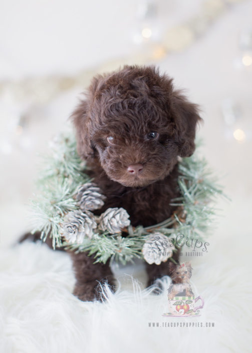 Chocolate Toy Poodle | www.pixshark.com - Images Galleries ...