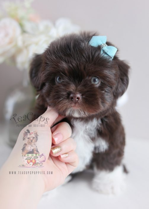 Gorgeous Chocolate Shih Tzu Puppy #009 For Sale