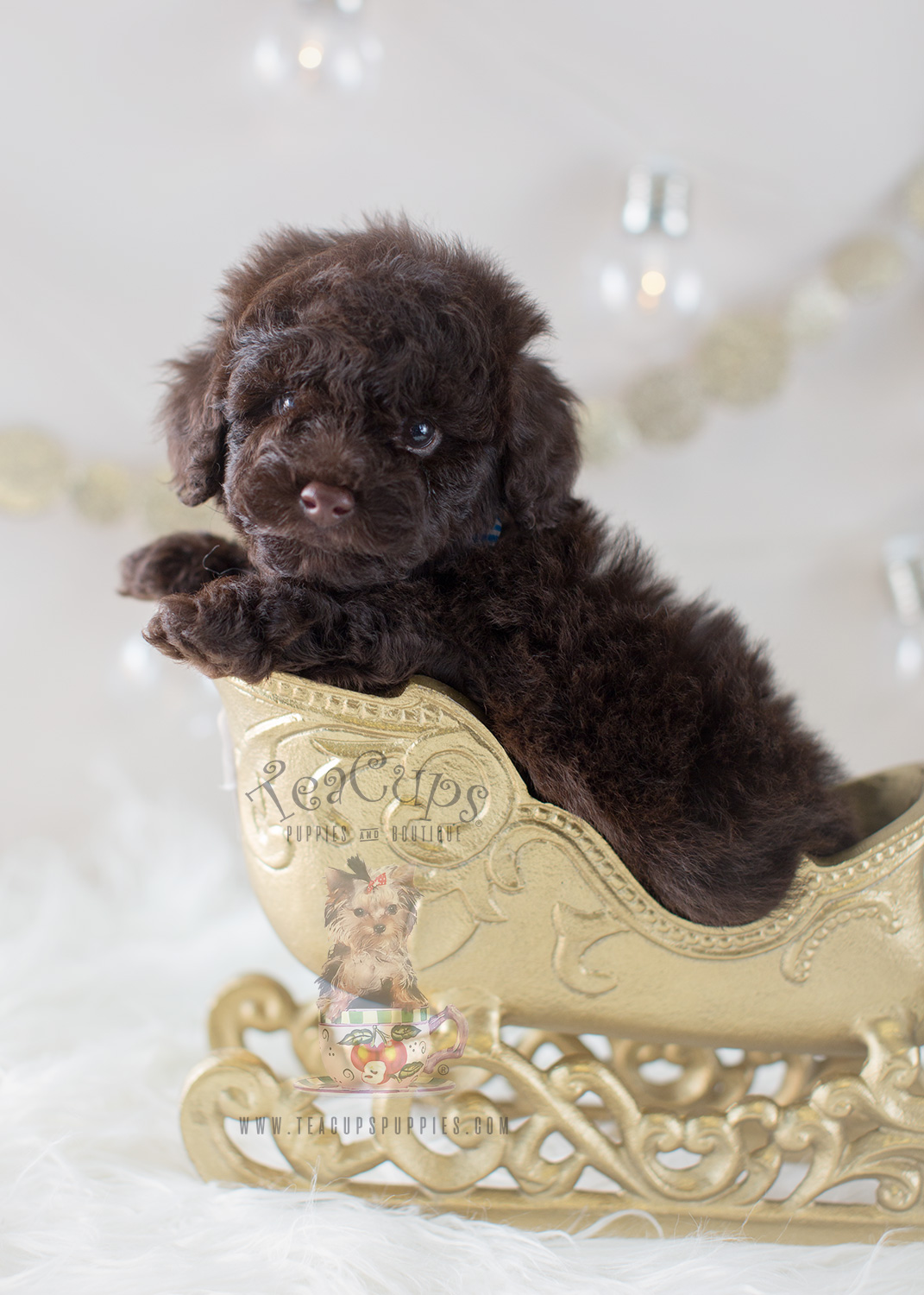 Teacup Puppies Chocolate Toy Poodle Puppy #294