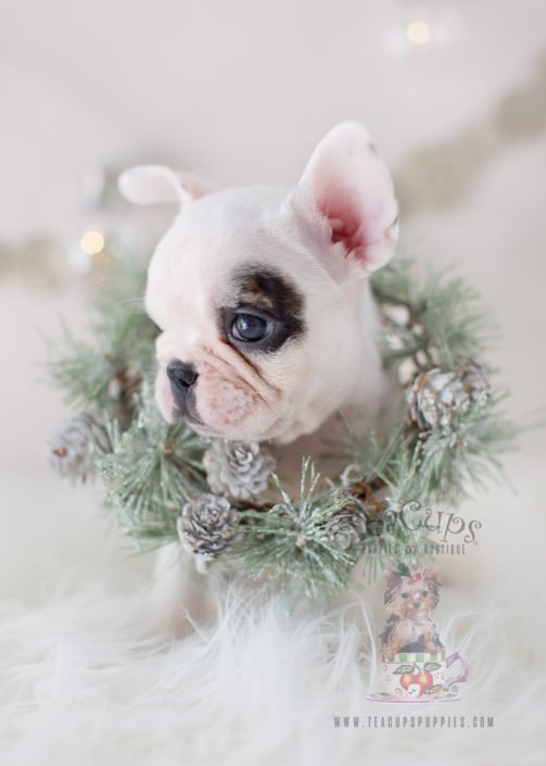 White French Bulldog Frenchie Puppy #301