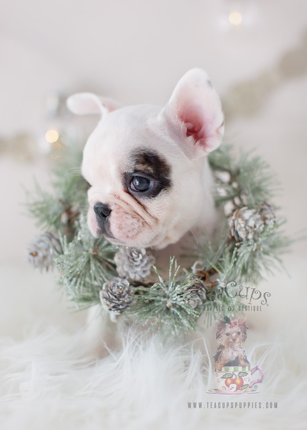 White French Bulldog Frenchie Puppy #301