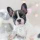 Puppy For Sale #302 Teacup Puppies French Bulldog