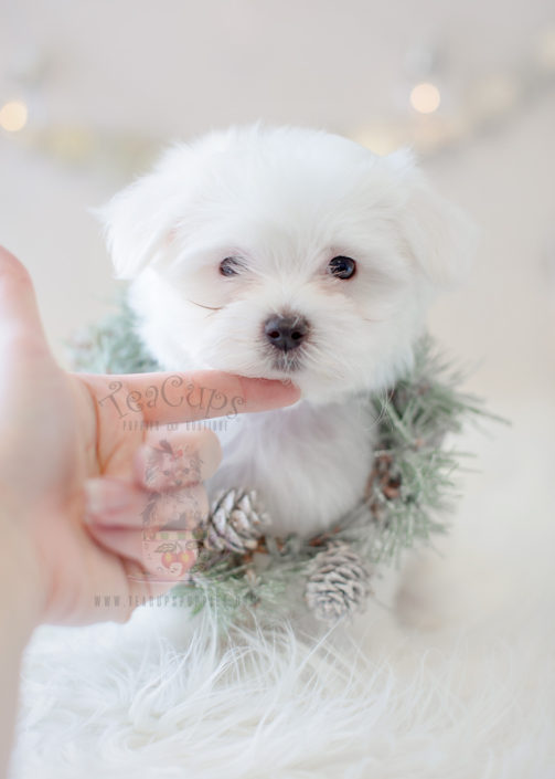 Puppy For Sale #290 Teacup Puppies Maltese