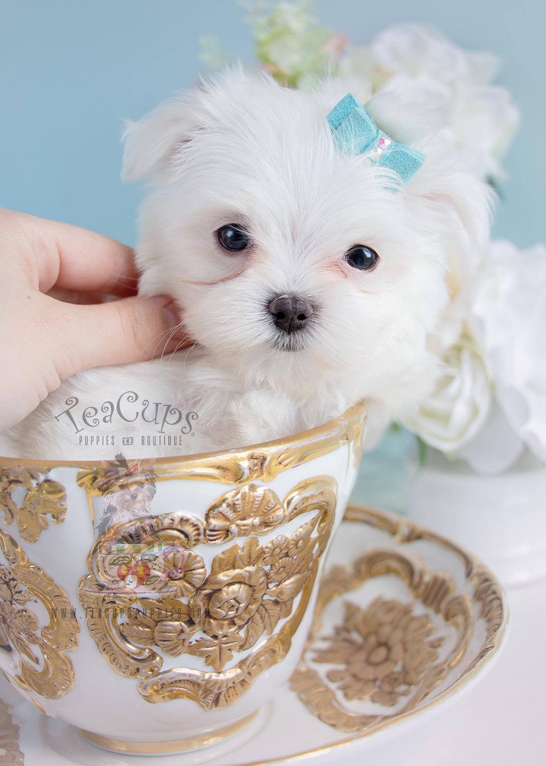 Puppy For Sale #289 Teacup Puppies Maltese