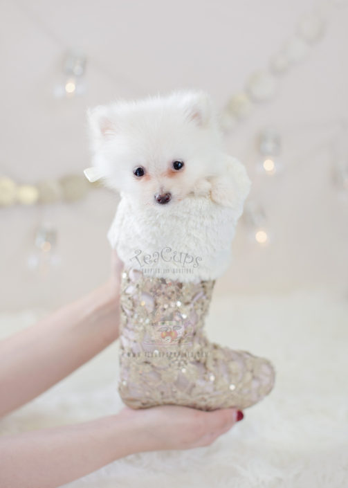 For Sale #305 Teacup Puppies Pomeranian Puppy
