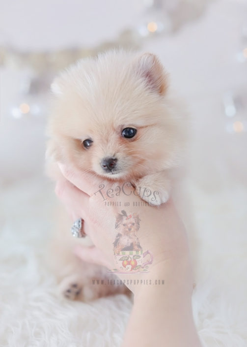 For Sale #310 Teacup Puppies Pomeranian Puppy