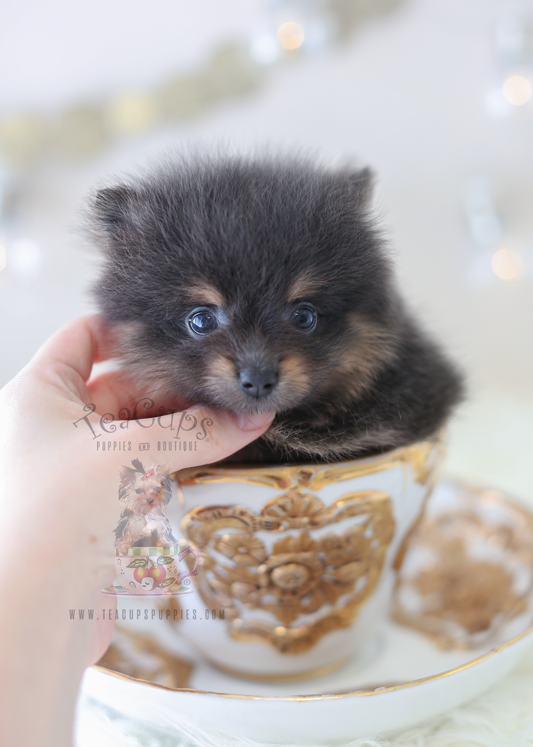 For Sale #311 Teacup Puppies Pomeranian Puppy
