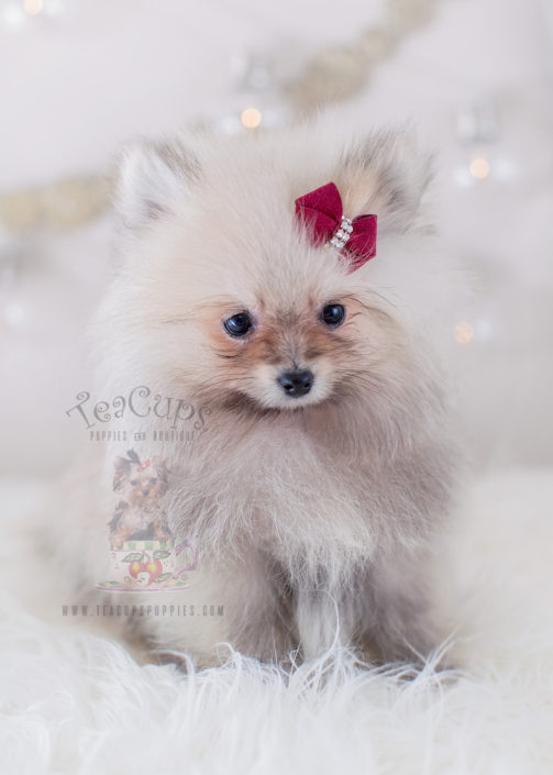 Puppy For Sale Teacup Puppies #325 Pomeranian