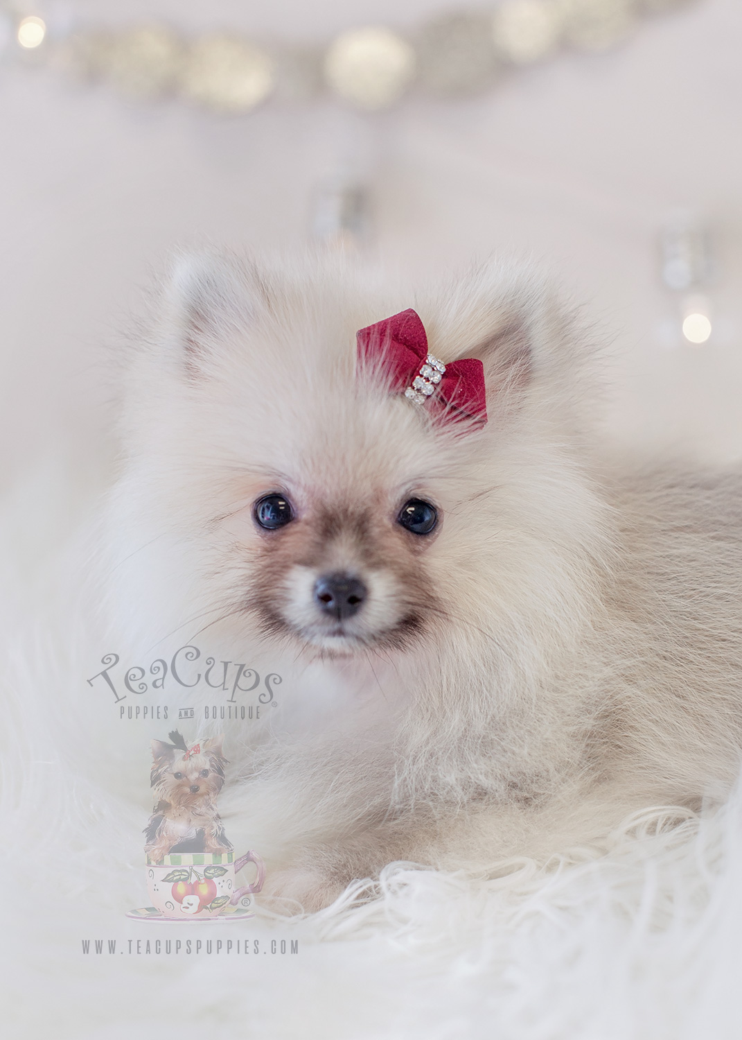 For Sale TeaCups Puppies #326 Pomeranian Puppy