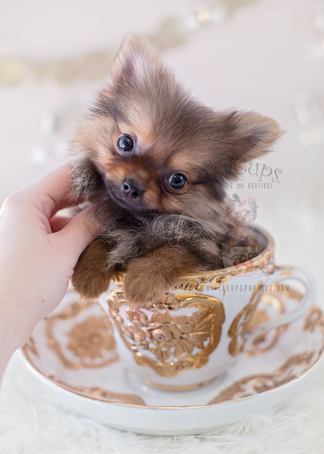 TeaCups Puppies #323 Tiny Pomeranian Puppy For Sale